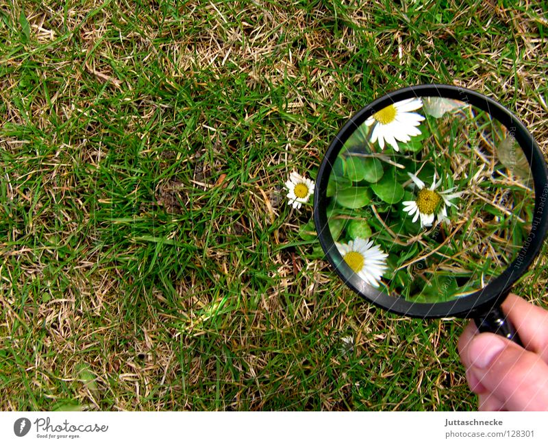 Ich seh den Frühling schon Lupe vergrößert Blume Gänseblümchen Gras groß klein Pflanze Wachstum gewachsen grün weiß gelb niedlich Erfolg Garten Juttaschnecke