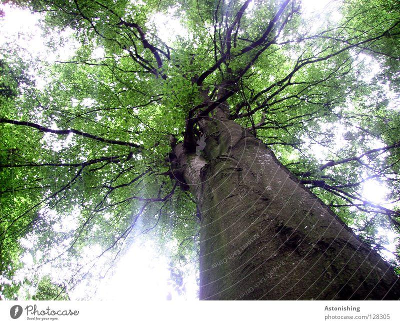 StammBaum Pflanze Blatt Wachstum groß braun grün Perspektive Geäst Laubbaum Baumrinde Baumstamm Ast Froschperspektive Blätterdach Gegenlicht Unschärfe