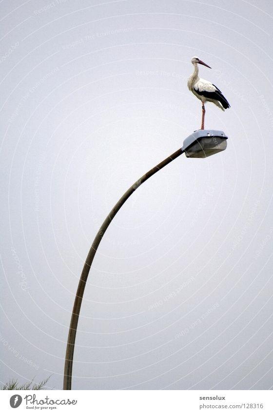 Klapperstorch sucht Feldmaus Storch Straßenbeleuchtung Lampe Laterne Geburt Aussicht Standbein stehen Silhouette Vogel Anpassung überblicken Profil Jagd