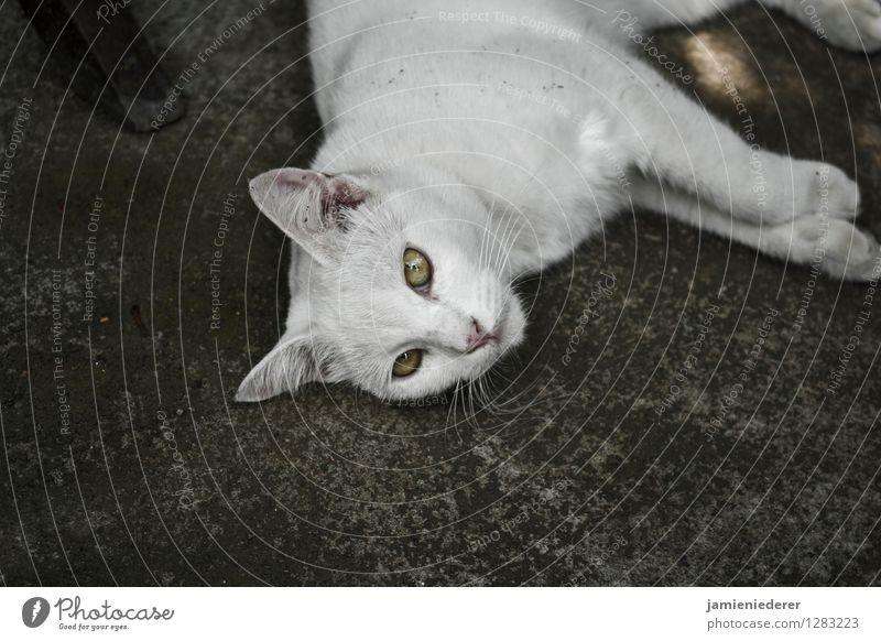 Streunende weiße Katze Tier 1 selbstbewußt Coolness Tierliebe Gelassenheit geduldig Farbfoto Außenaufnahme Menschenleer Textfreiraum unten Tierporträt Blick