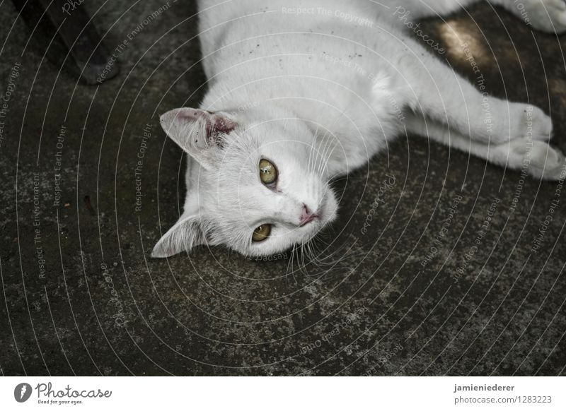 Streunende weiße Katze Tier Coolness Gelassenheit selbstbewußt geduldig Tierliebe