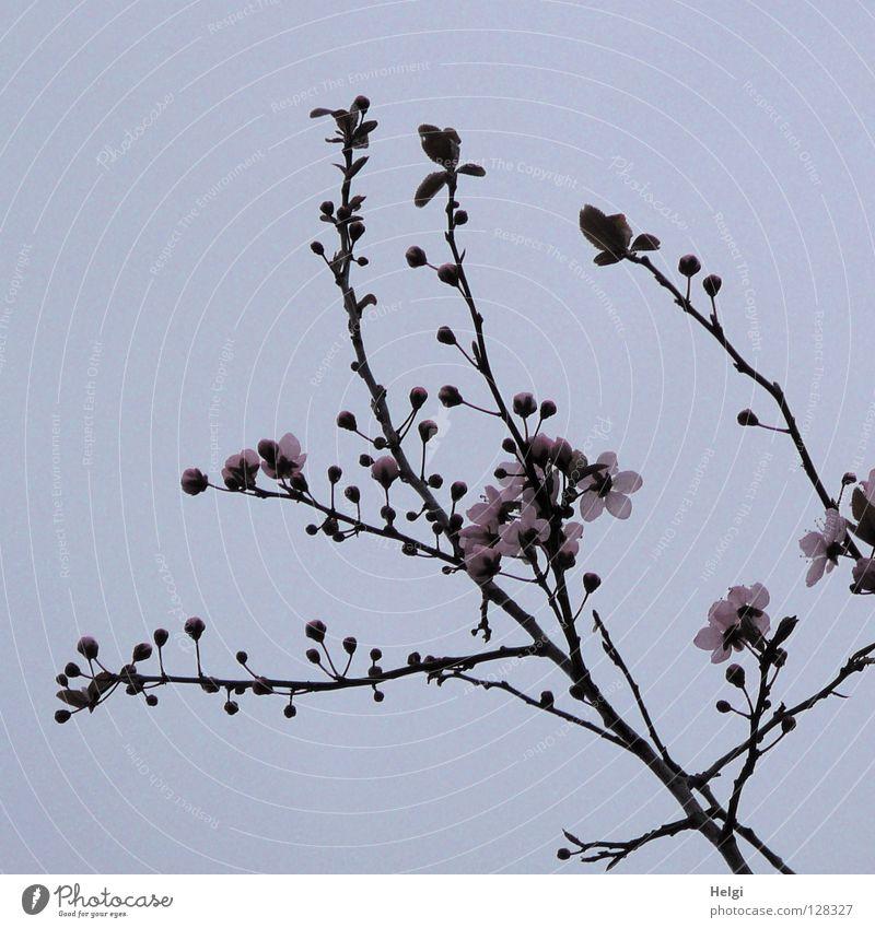 Zweige mit rosa Frühlingsblüten vor graublauem Himmel Blüte Blühend Baum März April Frühblüher Geäst verzweigt mehrere lang dünn gekrümmt krumm