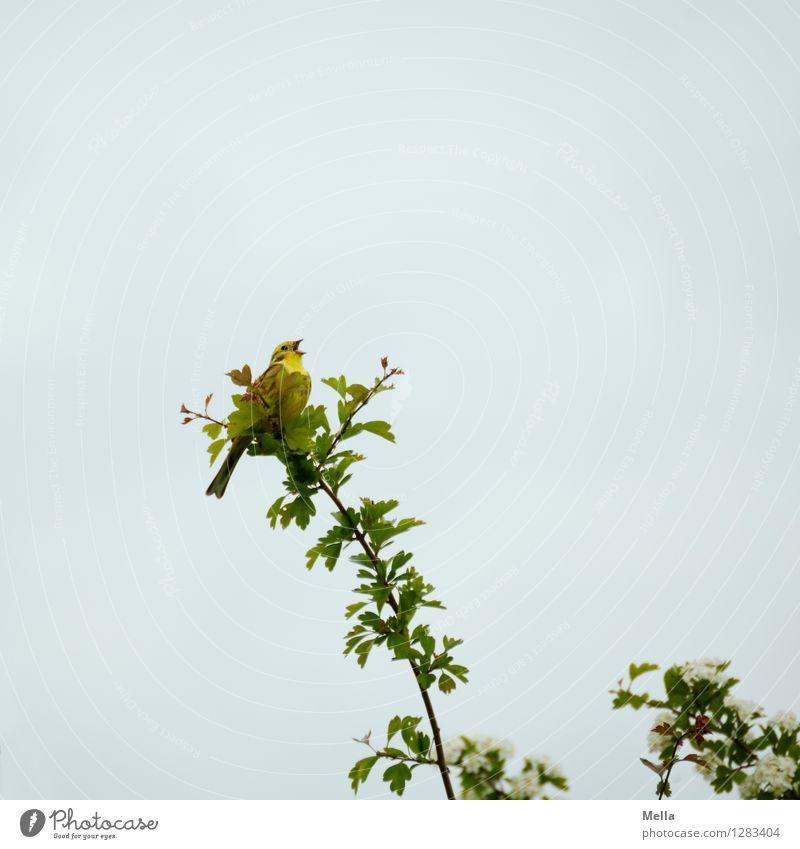 Schreihals Natur Pflanze Baum Tier Umwelt Frühling natürlich klein Vogel frei sitzen Sträucher Lebensfreude Ast singen Frühlingsgefühle