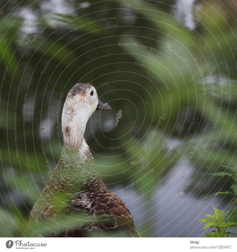 versteckt... Umwelt Natur Pflanze Tier Sommer Blatt Grünpflanze Wildpflanze Park Seeufer Wildtier Vogel Ente 1 Blick stehen einzigartig natürlich braun grau
