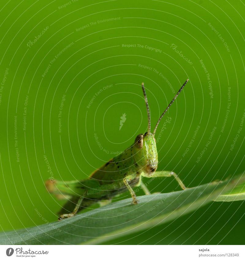 mister green Natur grün Blatt Tier Kopf braun warten sitzen Insekt beobachten Wildtier verstecken Fühler Heuschrecke Tarnung