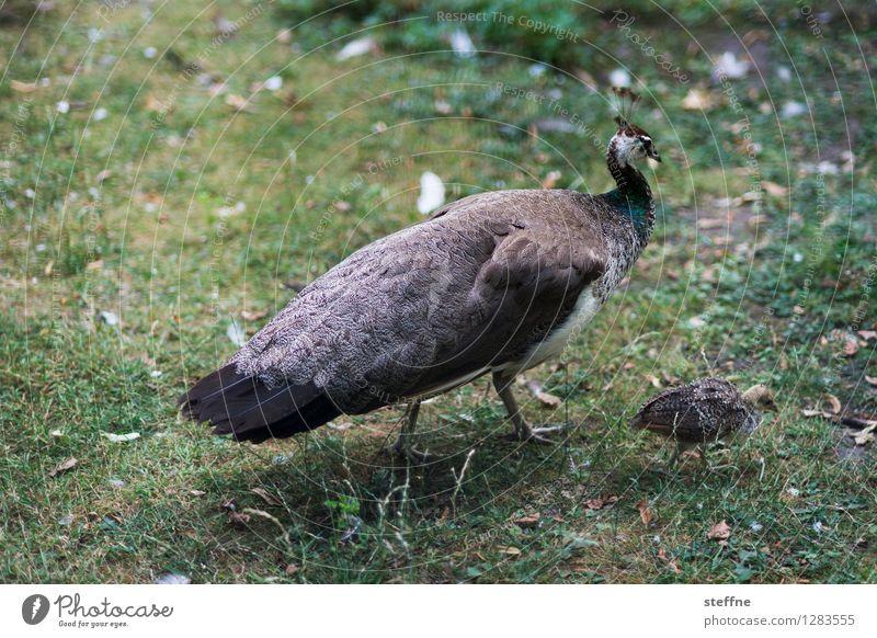 Tierisch gut: Vv Wiese Vogel Wildtier Stolz Küken Pfau Pfauenfeder