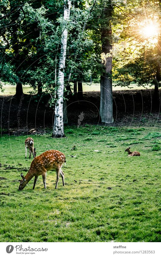 Tierisch gut: Äsendes Wild Sonnenaufgang Sonnenuntergang Sonnenlicht Schönes Wetter Baum Wiese Wald Wildtier außergewöhnlich Fressen Reh Wildwechsel Hirsche
