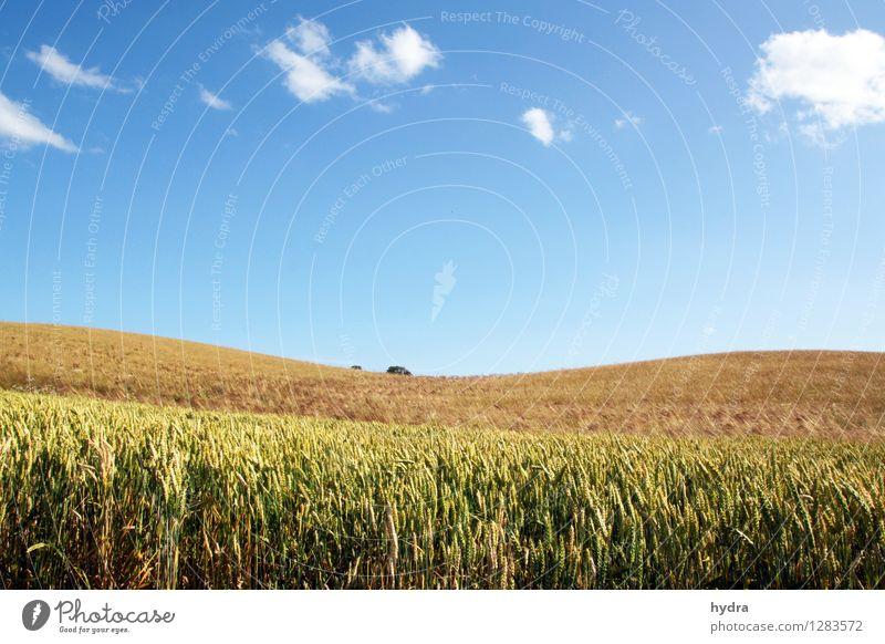 Sanfte Hügel mit Kornfeld vor blauen Himmel mit weißen Wolken Getreide Vollkorn Bioprodukte Vegetarische Ernährung Gesunde Ernährung Ferien & Urlaub & Reisen