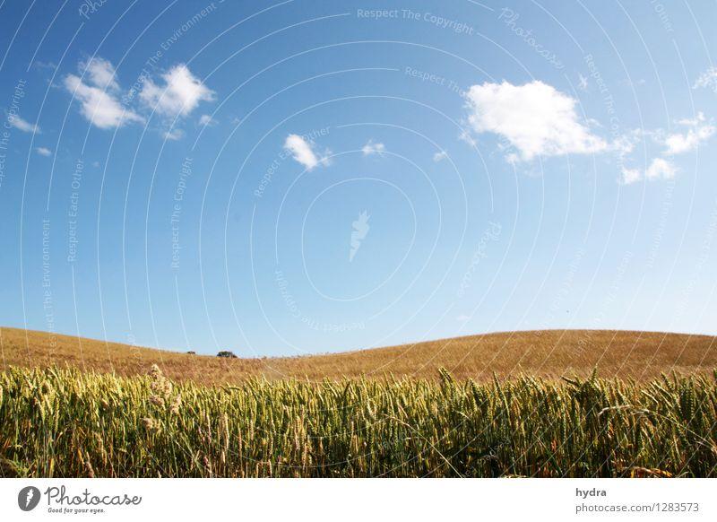 Sanfte Hügel mit Kornfeld vor blauen Himmel mit weißen Wolken Getreide Bioprodukte Vegetarische Ernährung Lebensmittel Gesunde Ernährung Erholung Landschaft