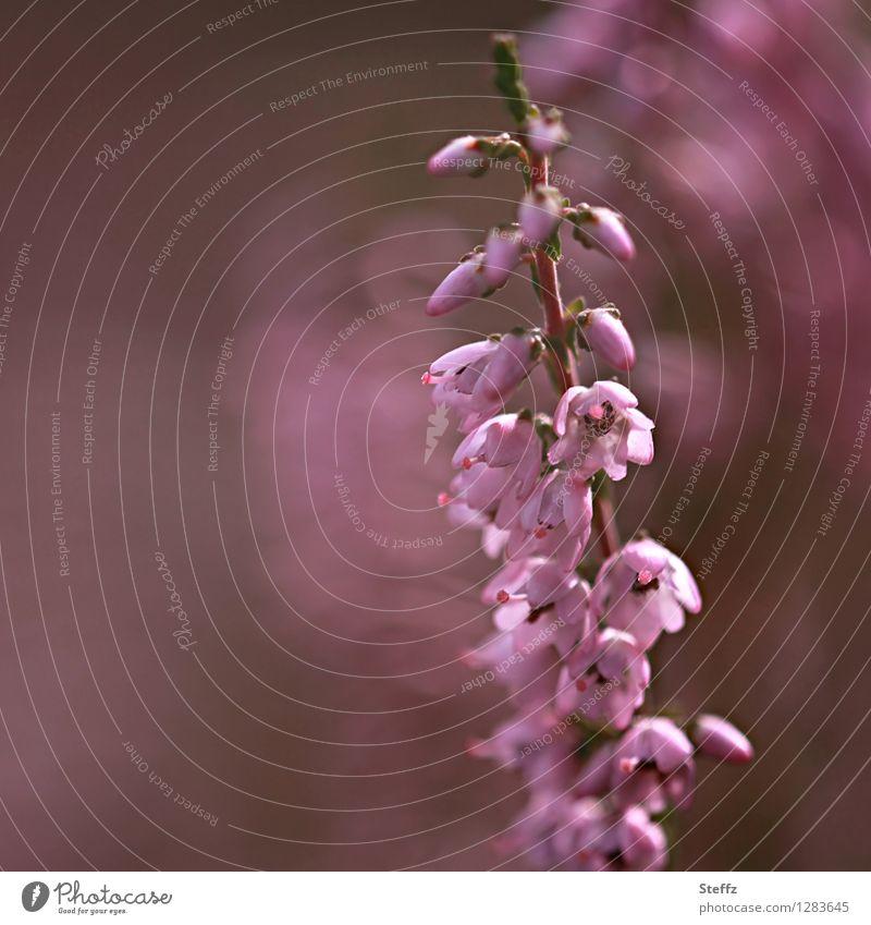 Erika Natur Pflanze Sommer Sträucher Wildpflanze Bergheide Heide Blühend schön rosa Romantik Unschärfe Farbfoto Außenaufnahme Menschenleer Tag