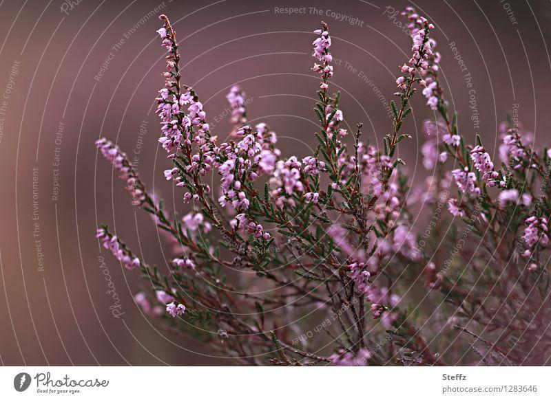 Heidestrauch Umwelt Natur Pflanze Sommer Sträucher Wildpflanze Bergheide Calluna Heidekrautgewächse Blühend schön braun rosa Romantik Heidestimmung Unschärfe