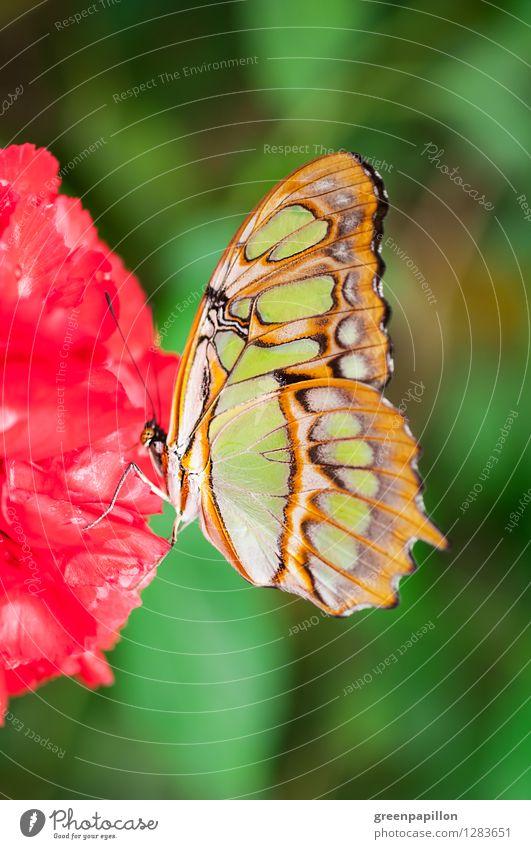 Malachitfalter auf roter Blüte Leben harmonisch Erholung Meditation Kur Massage Sauna Umwelt Natur Pflanze Sommer Urwald Schmetterling grün