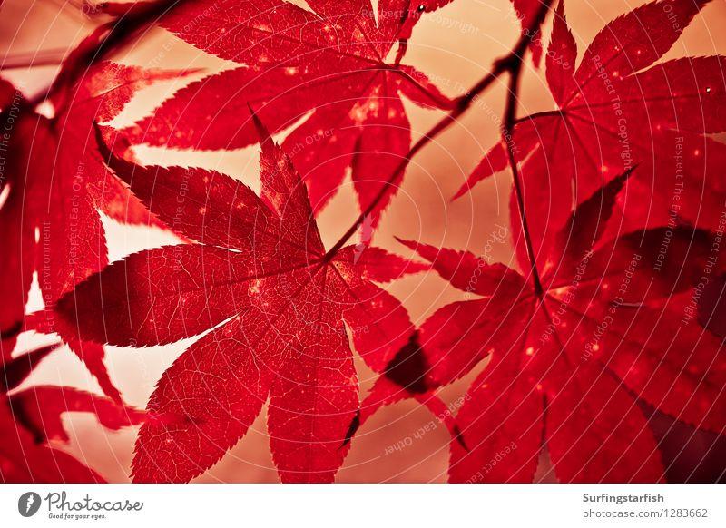 Herbstlaub im Gegenlicht Natur Pflanze Sonnenlicht Blatt Ahorn hängen ästhetisch natürlich Spitze Wärme rot Farbe Vergänglichkeit Momiji Farbfoto Außenaufnahme