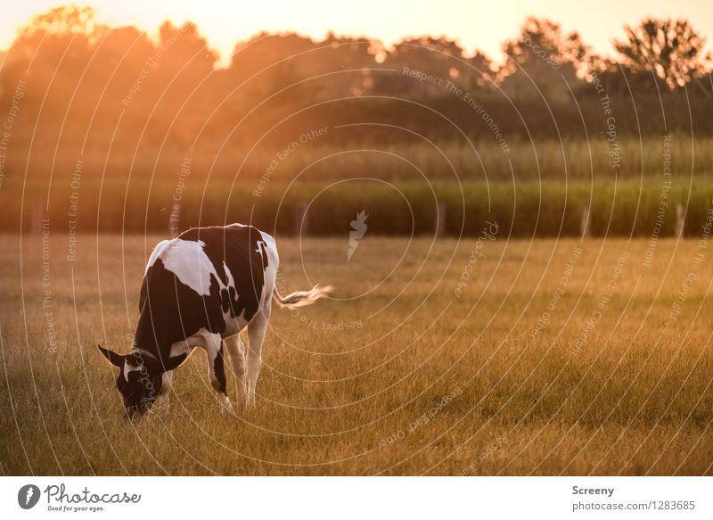 Muh Landwirtschaft Forstwirtschaft Natur Landschaft Pflanze Tier Himmel Sonne Sonnenaufgang Sonnenuntergang Sonnenlicht Sommer Schönes Wetter Baum Gras