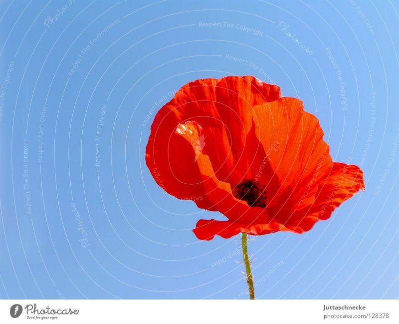 Bügelfrei schön Himmel Blume blau Pflanze rot Sommer Wiese Blüte Feld Wachstum zart Blühend Falte Mohn Schönes Wetter