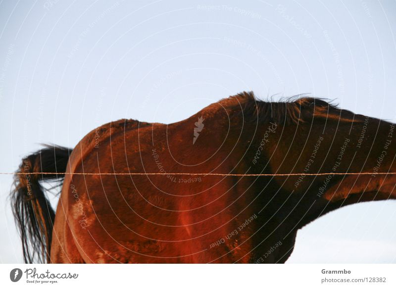 Pf braun Pferd Weide Draht Säugetier Schwanz Bildausschnitt Reiten Torso kopflos unvollendet