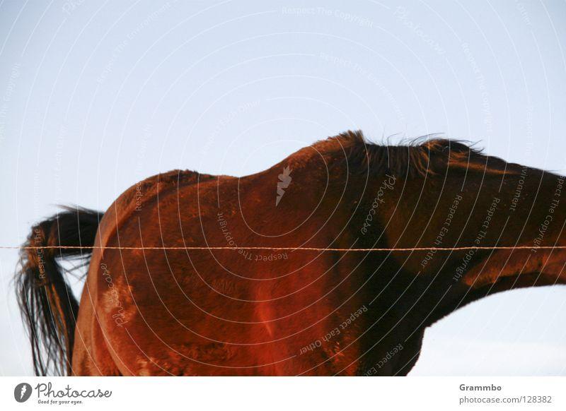 Pf Pferd braun Schwanz Torso unvollendet kopflos Bildausschnitt Weide Draht Reiten Säugetier beinlos Anschnitt