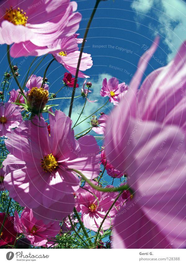 schmux schön Himmel Blume grün gelb Blüte Bewegung Frühling rosa Wind frisch Fröhlichkeit mehrere Schmuck viele Blütenknospen