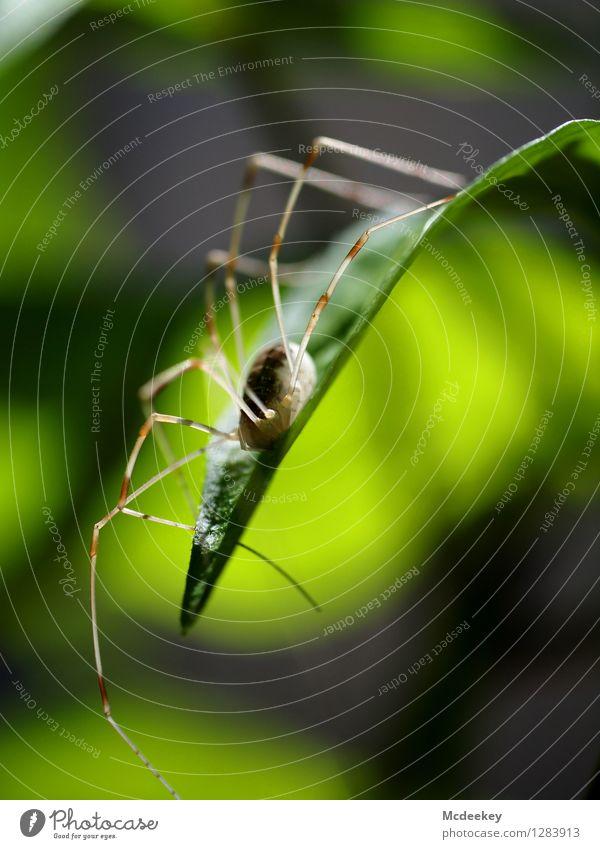 Lord Langbein Umwelt Natur Pflanze Sonne Sommer Schönes Wetter Wärme Sträucher Blatt Grünpflanze Tier Wildtier Spinne 1 sitzen warten eckig exotisch natürlich