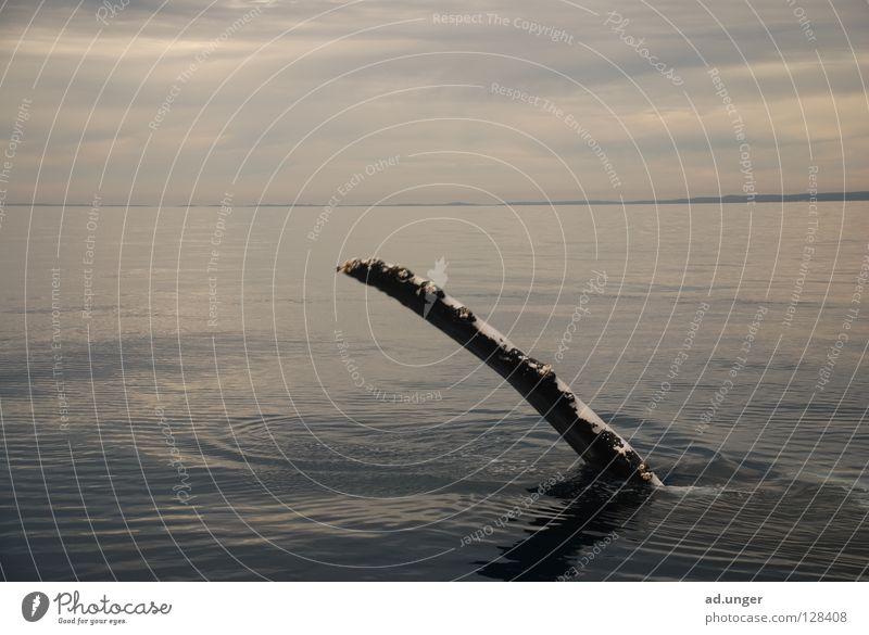 Gib Flosse! Wasser groß Säugetier Schwimmhilfe gleiten Wal Buckelwal