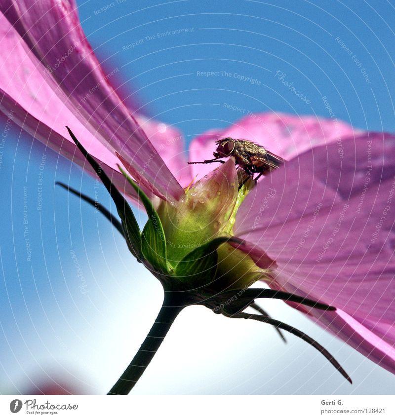 rub Insekt Blume Schmuckkörbchen Frühling Sommer rosa himmelblau Tier Blüte grün Stengel Blütenblatt mehrfarbig Wassertropfen Fliege Himmel Reibung hände reiben