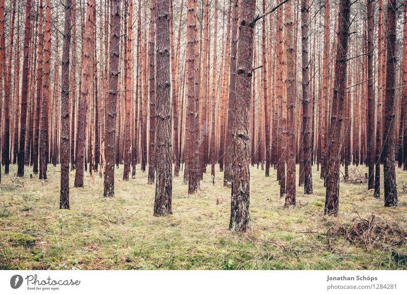 Waldstück Umwelt Natur Landschaft Pflanze Baum Außenaufnahme kahl Nadelwald Mecklenburg-Vorpommern wandern viele voll Durchblick gleich Wachstum aufwärts