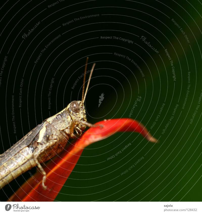 heuschrecke grün rot Auge Tier Blüte Kopf braun sitzen Insekt Fühler Blütenblatt Heuschrecke