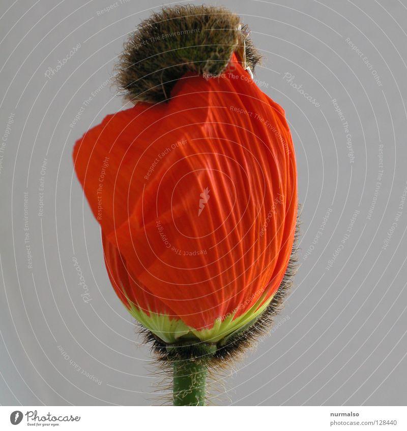 Mohnpower schön rot Blume Gefühle Haare & Frisuren Frühling Kunst fliegen Wachstum Dekoration & Verzierung einfach Schmuck Blumenstrauß Markt Lust