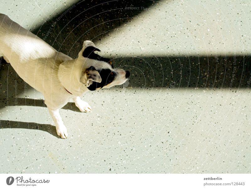 Terrier Hund Postbote Licht Lichteinfall Fenster Raum leer Sonnenlicht Fensterkreuz Säugetier jack-russel bürohund reißende bestie Versicherung Schatten
