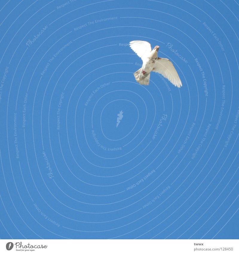 Weisse Taube Vogel weiß Erfolg Frieden Hoffnung aufsteigen Aufschwung Luft weiß-blau Schönes Wetter unbefleckt rein Höhenflug Neuanfang Aufsteiger Karriere
