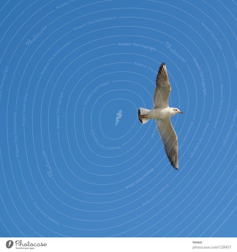 Möwe mit Ziel vor Augen Vogel weiß aufsteigen Aufschwung Segeln Segelfliegen Luft weiß-blau Schönes Wetter unbefleckt rein Höhenflug Neuanfang Aufsteiger Erfolg