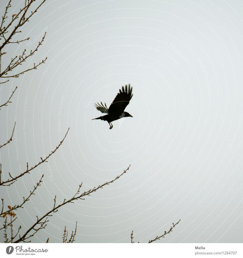 Abgehoben Umwelt Natur Luft Himmel Pflanze Ast Tier Vogel Krähe Rabenvögel 1 fliegen frei natürlich trist grau Stimmung Freiheit Flügel gleiten Abheben Farbfoto