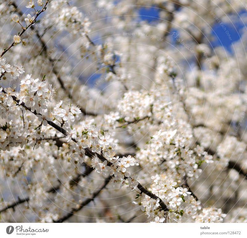 Frühlingsanfang Himmel weiß Blume Freude Wärme Blüte Park Sträucher Duft Physik