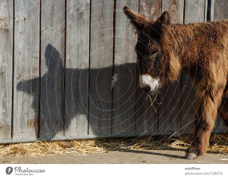 Guter alter Bekannter - Osterhasenesel süß Ohr niedlich Fell Bart Müdigkeit Säugetier Fressen Esel Holzwand Schattenspiel verschlafen Geselle
