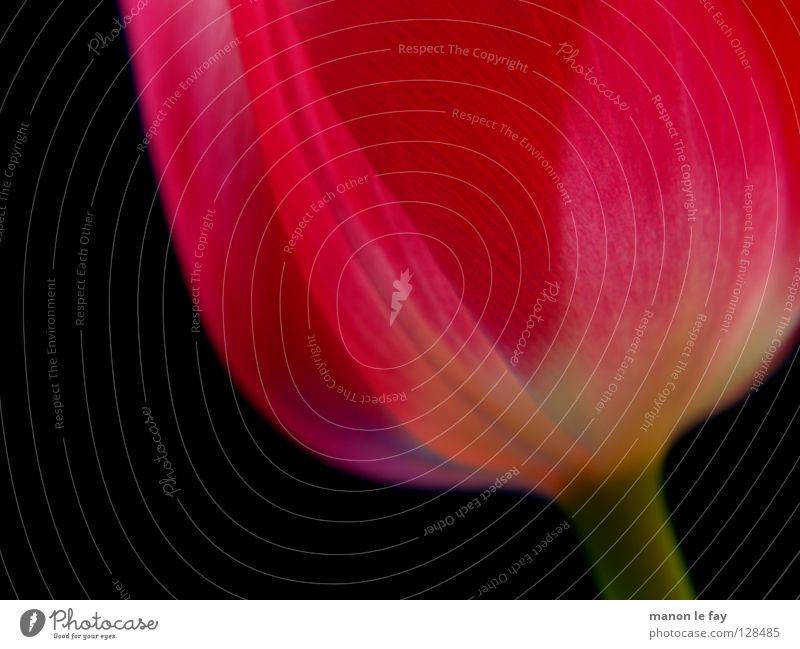 Voilà! Blume Tulpe rosa rot schwarz Hintergrundbild Unschärfe Frühling Sommer Blüte Blütenkelch Niederlande zerbrechlich Makroaufnahme Nahaufnahme elegant schön