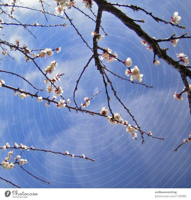 Blütenzauber Himmel weiß Baum blau Wolken Farbe Frühling hell rosa zart Sehnsucht sanft Zweig Geäst durchscheinend