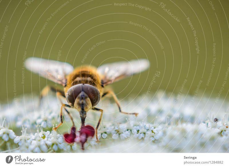 Kaffeezeit Natur Landschaft Pflanze Tier Sommer Blume Gras Sträucher Garten Park Wiese Feld Wald Fliege Tiergesicht Flügel 1 fliegen Fressen Schwebfliege
