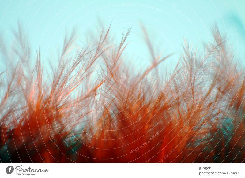 Flammendes Federgebüsch blau rot Farbe weich zart Metallfeder kuschlig Blauer Himmel fein Faser Feuer buschig zerzaust strubbelig
