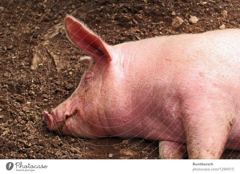 Grunz Ernährung Landwirtschaft Forstwirtschaft Erde Tier Haustier Nutztier Tiergesicht Schwein Hausschwein 1 schlafen träumen natürlich rosa Farbfoto