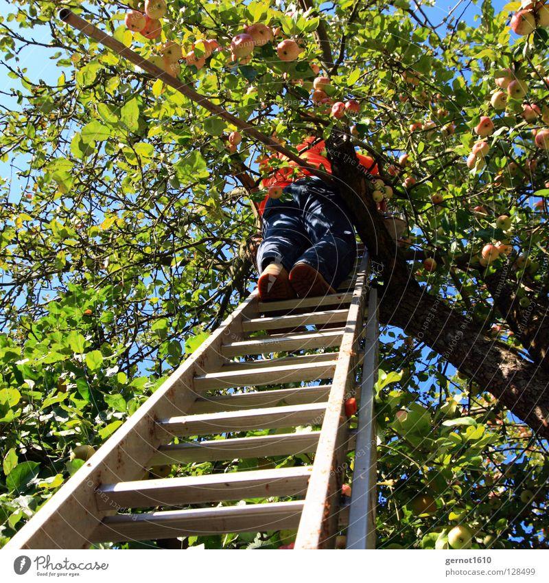 Apfelernte II blau grün Sommer Baum Blatt schwarz Herbst Obstbaum Gesundheit braun Schuhe Frucht hoch gefährlich Ast Landwirtschaft