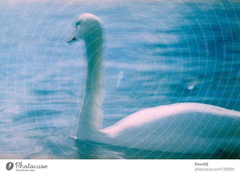 BULB Schwan Vogel Federvieh See Gewässer Langzeitbelichtung Lomografie schön Hals Wasser Fluss elegant Bulb Im Wasser treiben Schwimmen & Baden