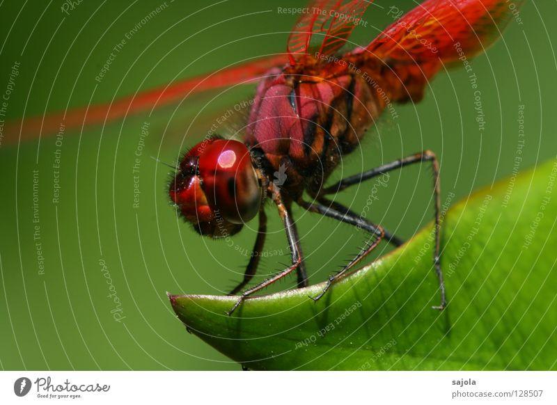 think pink - C grün rot Blatt Tier Beine ästhetisch Flügel Insekt festhalten Wildtier knallig Libelle Facettenauge Komplementärfarbe Libellenflügel