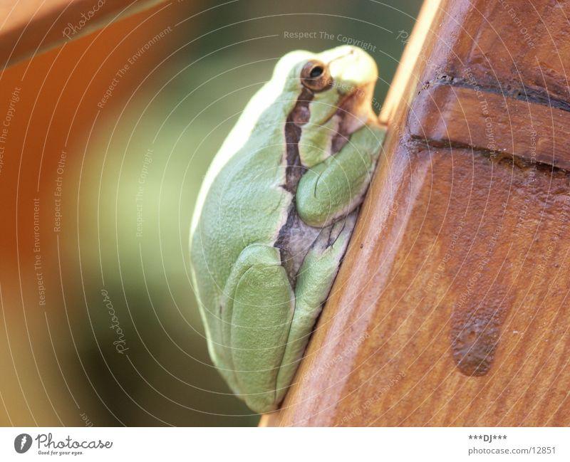 The Frog Tier Lurch grün Holz Erholung Verkehr Frosch Natur sitzen Sonne