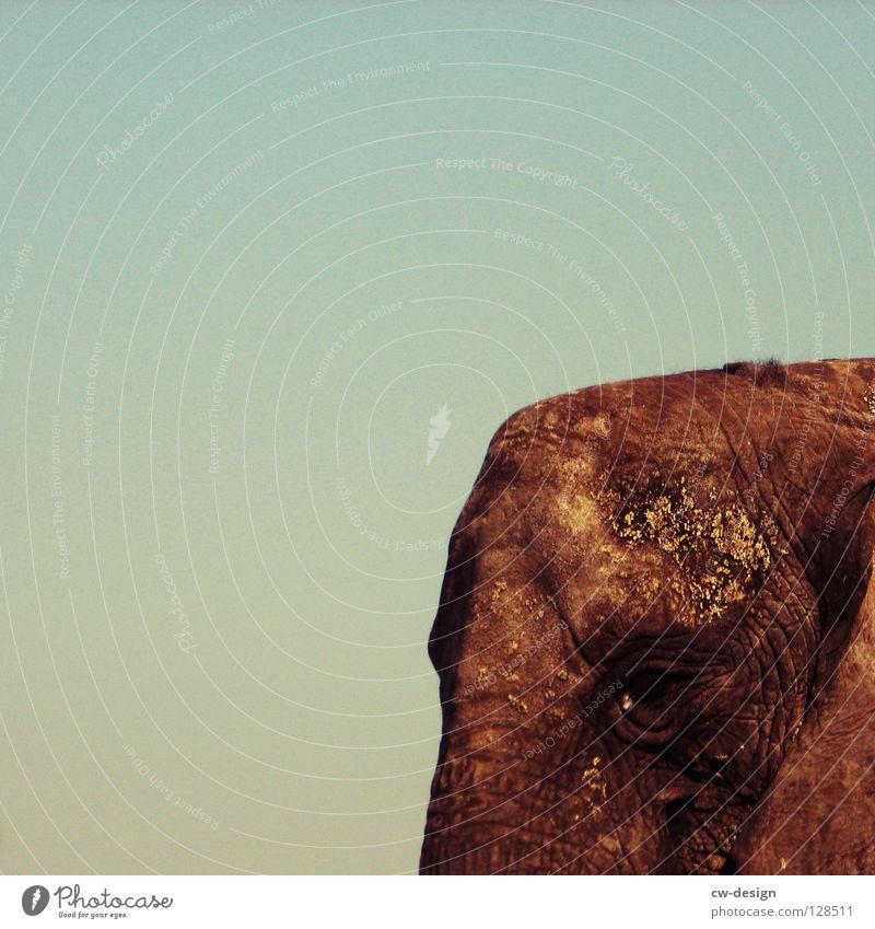 Der mit den großen Ohren Himmel Tier Traurigkeit grau Macht Trauer Geruch Säugetier dick Langeweile Fett Blauer Himmel gigantisch Elefant Stirn