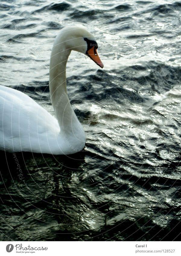 Halbzeit blau Wasser weiß grün schön Tier schwarz dunkel Leben See Vogel Wellen Wind Schwimmen & Baden Wassertropfen gefährlich