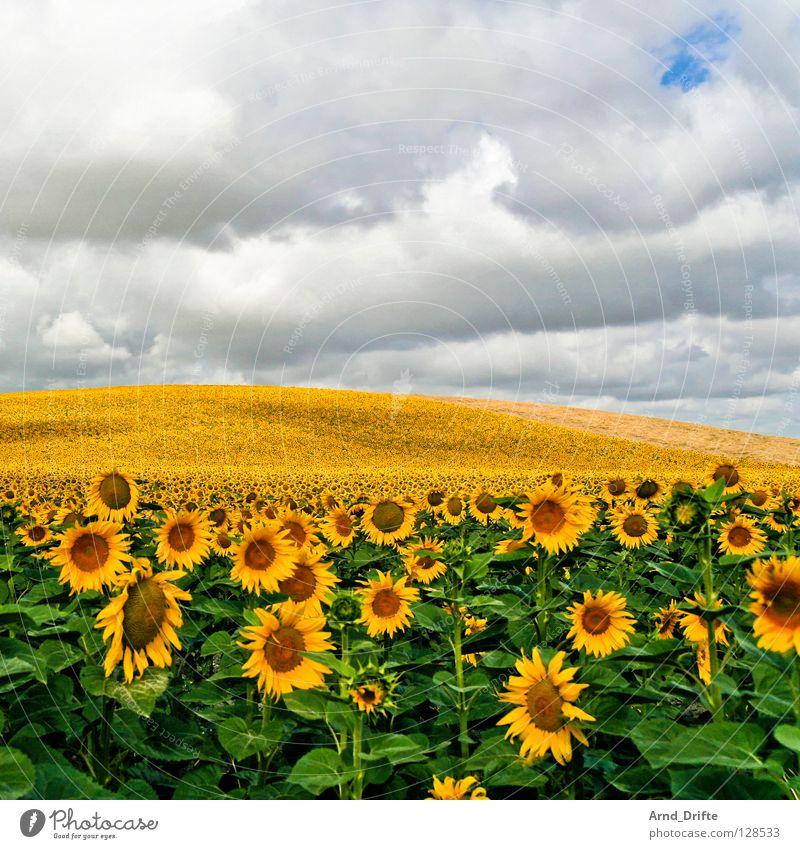 Sonnenblumenfeld VII Natur Himmel weiß Blume blau Sommer Wolken gelb Arbeit & Erwerbstätigkeit Frühling Glück Landschaft Feld Horizont frisch Fröhlichkeit