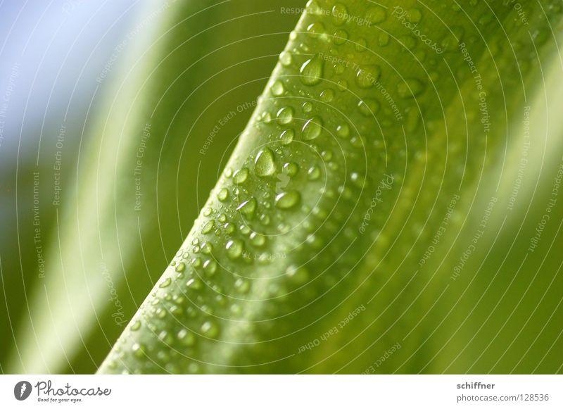 Lemon Line I grün schön Pflanze Frühling Gesundheit Hintergrundbild nass frisch Wassertropfen Wellness Erfrischung Urwald Tau Grünpflanze Zimmerpflanze Blume