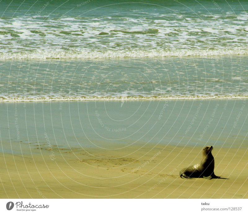 SEAL Wasser Meer Strand Tier Wellen Geschwindigkeit gefährlich Bucht Angeln Neuseeland durchdrehen Südinsel