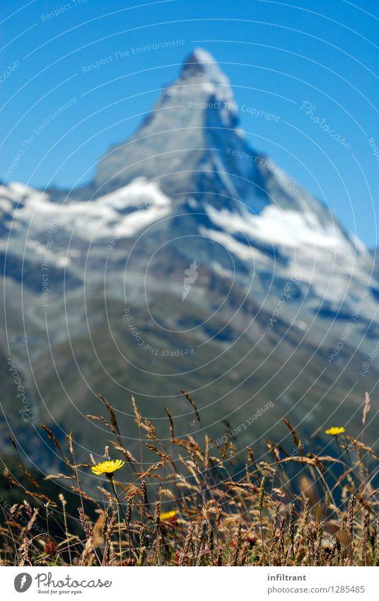 Bergwiese am Matterhorn Ausflug Ferne Sommerurlaub Berge u. Gebirge wandern Umwelt Natur Landschaft Wolkenloser Himmel Schönes Wetter Pflanze Blume Gras Blüte