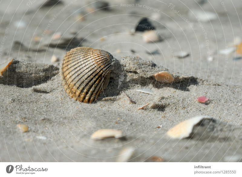 Muschel am Strand Sommer Meer Insel Sand Küste Nordsee ästhetisch natürlich braun grau orange ruhig Erholung Ferien & Urlaub & Reisen Natur Farbfoto